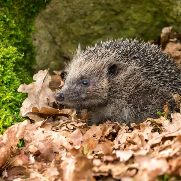 Thumbnail for  Build a hedgehog hole in your garden wall/fence